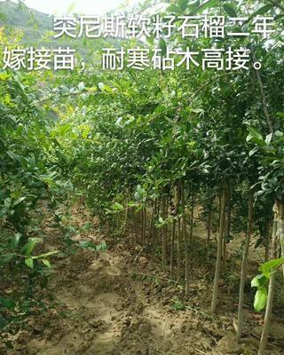 这是一张关于突尼斯软籽石榴树苗的产品图片