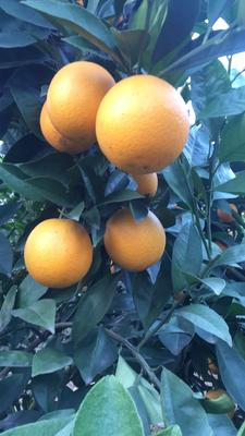 这是一张关于冰糖橙 55 - 60mm 4-8两的产品图片