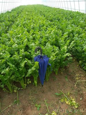 河南省开封市兰考县美国西芹 45~50cm 大棚种植 0.5~1.0斤