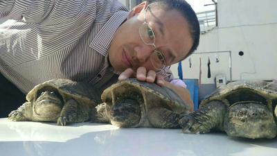 江苏无锡南长区拟鳄龟 10-20cm 4-6斤