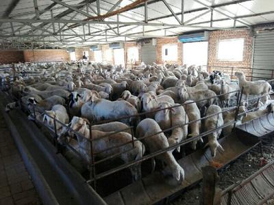 这是一张关于肉羊 50-80斤的产品图片