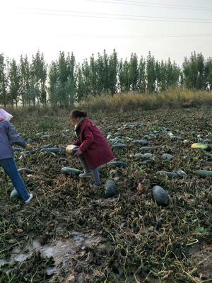 新疆石河子石河子黑皮冬瓜 15斤以上 黑皮