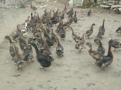 这是一张关于麻鸭 统货 3-4斤的产品图片