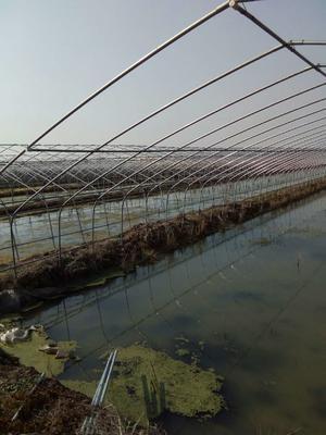湖北仙桃仙桃台湾泥鳅 10-15cm 人工养殖