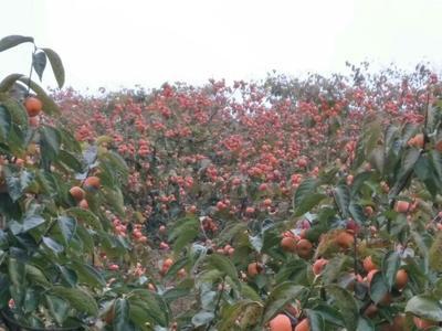 广西桂林平乐县平乐柿饼 2 - 3两以上