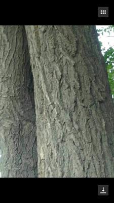 内蒙古鄂尔多斯乌审旗小叶榆树