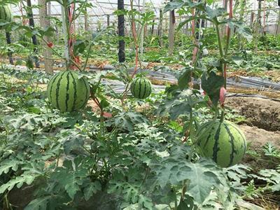 山东临沂郯城县京欣西瓜 有籽 2茬 8成熟 8斤打底