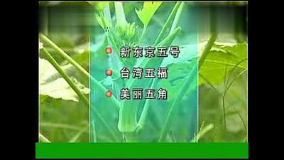 甘肃省陇南市徽县黄秋葵 8 - 10cm