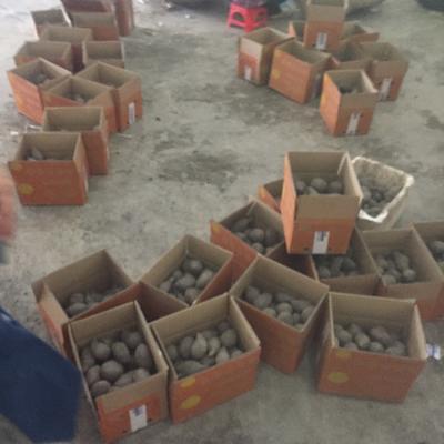 广西崇左凭祥市越南紫薯 3两以上