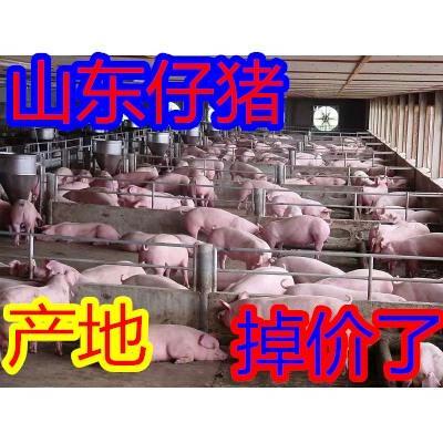 山东临沂沂水县三元仔猪