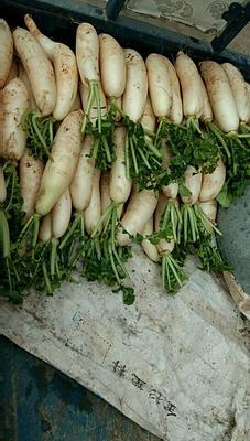 江西省上饶市横峰县白萝卜缨 20cm以上