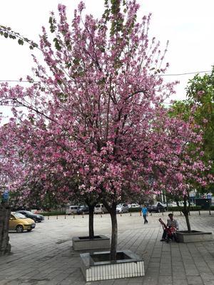 广西壮族自治区柳州市柳南区宫粉紫荆树