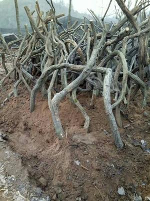 河南省驻马店市确山县重瓣紫藤 1.5~2米 3~4公分