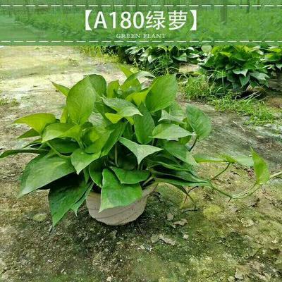 广东广州荔湾区绿萝
