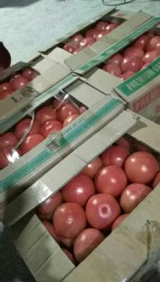 河南商丘夏邑县硬粉番茄 不打冷 硬粉 弧二以上