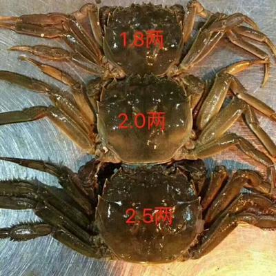 安徽芜湖镜湖区长荡湖大闸蟹 2.0-2.5两 母蟹