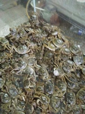 安徽芜湖镜湖区淀山湖生态大闸蟹 2.0两以下 公蟹