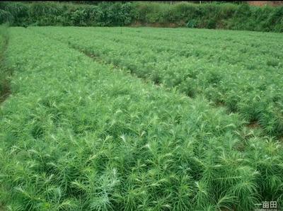 湖南永州东安县杉木树苗
