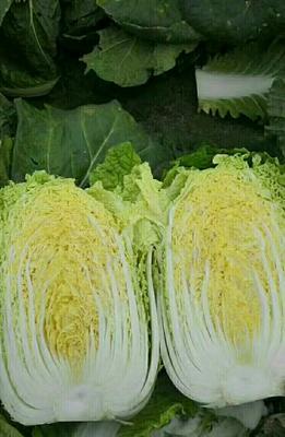 湖南省岳阳市君山区韩国黄心白菜 3~6斤 净菜