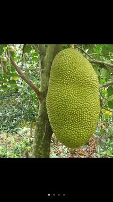 广东广州白云区海南菠萝蜜 10-15斤