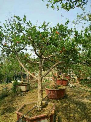 山东枣庄峄城区造型石榴树