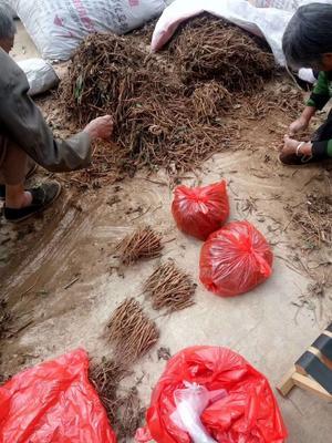 山西运城绛县油用牡丹种苗 2cm以下 4cm以下 0.5米以下