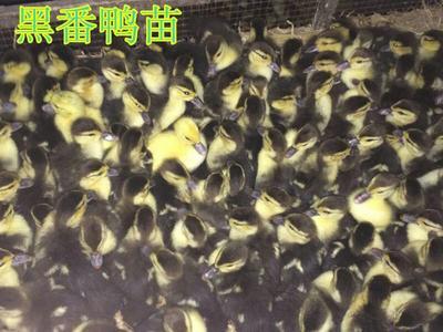 四川德阳广汉市番鸭苗