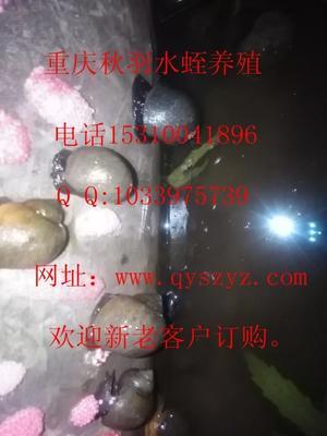重庆万州福寿螺 人工殖养