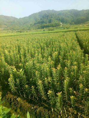 湖南怀化靖州苗族侗族自治县乌梅
