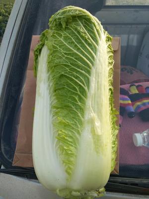 河北省唐山市玉田县玉田大白菜 2~3斤 净菜
