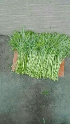 安徽池州贵池区白蒌蒿 10~15cm
