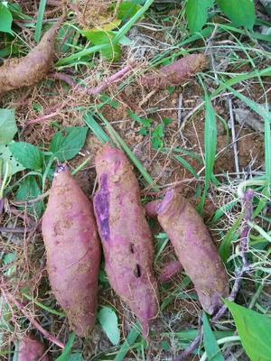 贵州铜仁松桃苗族自治县富硒紫薯 3两以上