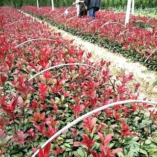 这是一张关于红叶石楠营养钵的产品图片
