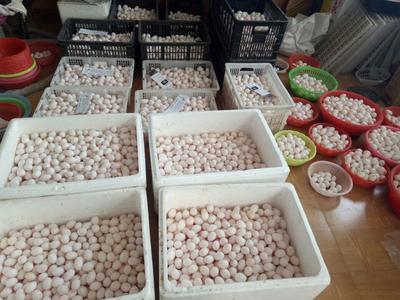 这是一张关于肉鸽蛋 食用 箱装的产品图片
