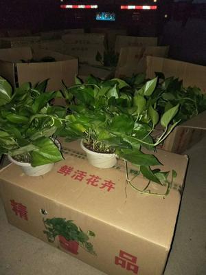 安徽滁州凤阳县绿萝