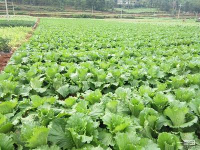 山西省晋中市榆次区秋绿60白菜 3~6斤 净菜