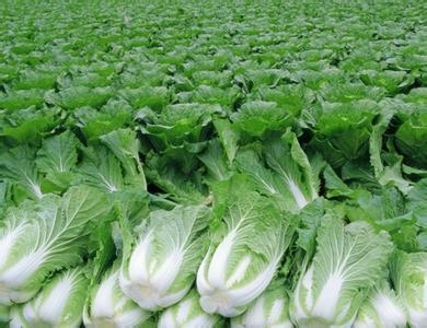贵州省贵阳市乌当区秋绿60白菜 1~2斤 毛菜