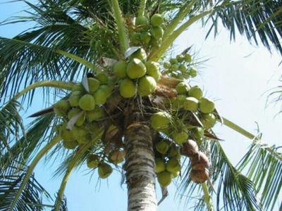 海南海口美兰区椰青 2.5 - 3斤