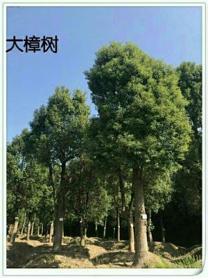 湖北黄冈浠水县樟树苗