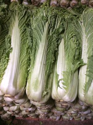 河北省唐山市丰南区秋绿60白菜 3~6斤 二毛菜