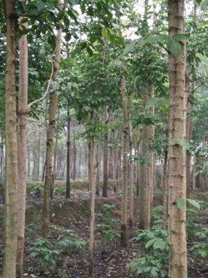 重庆江津区重阳木