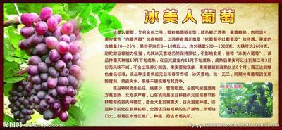 山东济南济阳县冰美人葡萄