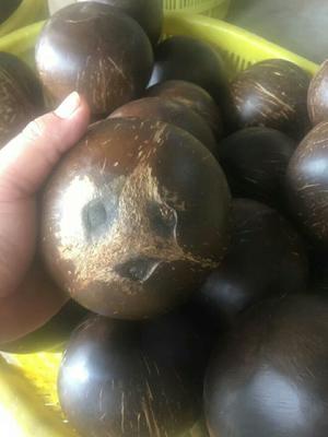 海南文昌文昌市炖盅椰子椰王椰皇 1.5 - 2斤