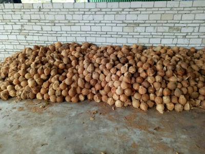海南文昌文昌市毛椰子椰子鸡老椰子 1.5 - 2斤