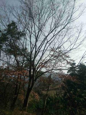 湖南省怀化市沅陵县丛生朴树