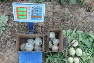 安徽省宿州市砀山县心里美萝卜 1~1.5斤