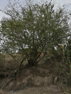 福建省泉州市石狮市丛生朴树