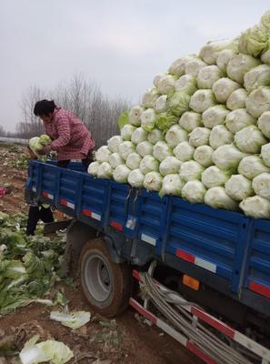山东省临沂市兰陵县胶州大白菜 3~6斤 净菜