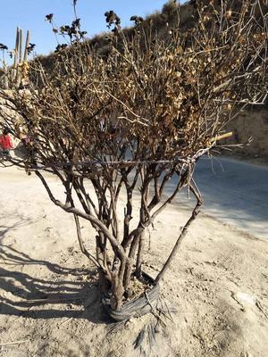 甘肃定西临洮县牡丹树 4~6cm 4~6cm 1.5~2米