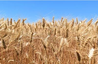 河南商丘宁陵县混合小麦